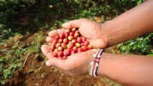 Usos del biofertilizante: ¡Mejor café para todos!