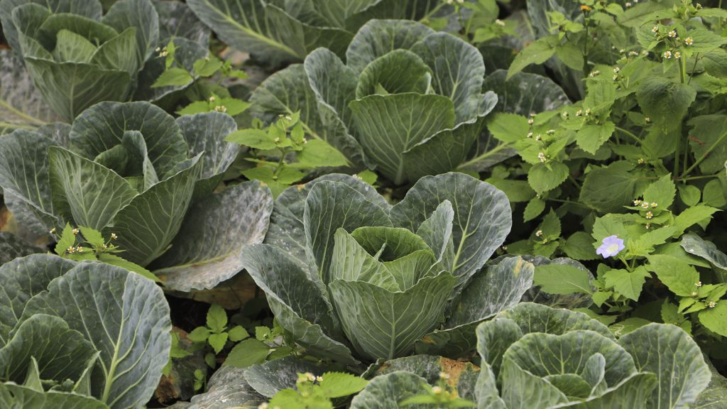 Biofertilizer Series: Let's talk about cabbages